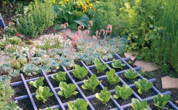 Bibb lettuce planted in