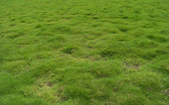 Lawn Grass (Turf)