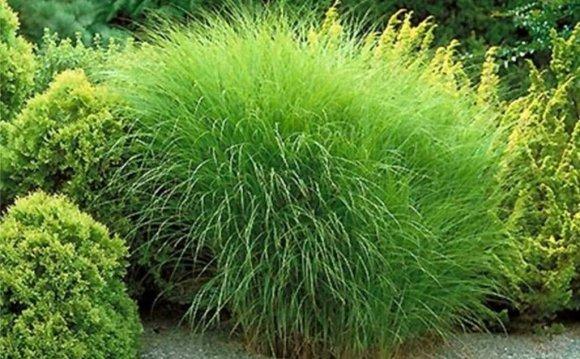 Outdoor Beach Grass Plants For
