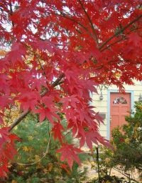 Japanese Maple, Borrowed View, Front Door Johnsen Landscapes & Pools Mount Kisco, NY