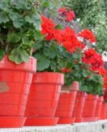 Mass planted geraniums in bright red pots make an eye catching display
