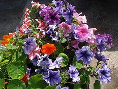 Petunias are a cheap and cheerful potted colour choice.