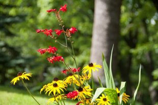 Red crocosmias and yellow cone flowers