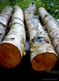 shiitake birch logs